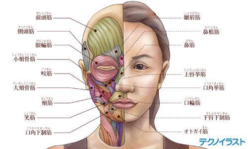 筋肉の解剖図のイラスト