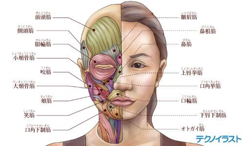 美容雑誌用の解剖図