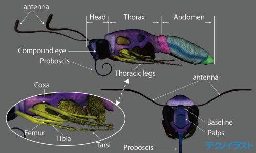 3Dモデルを使用した蝶の図解