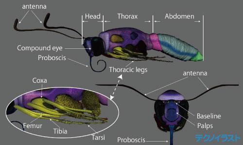 3Dモデルのアゲハ蝶の名称
