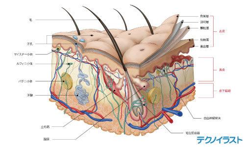 皮膚の断面図のイラスト